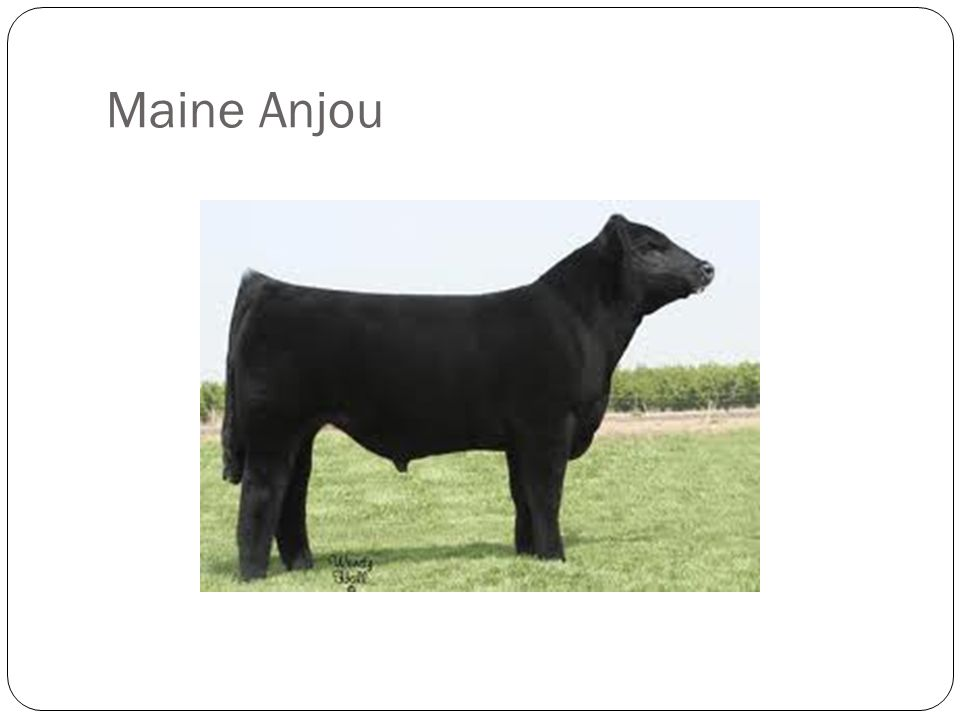 Acceptable Breed Characteristics: Solid black or solid red Red and white Black and white Heavy skeletal structure Discriminatory Breed Characteristics: None Absolute Disqualifications: Brindle Roan Diluter color pattern Appears to be more than 50% of any other breed
