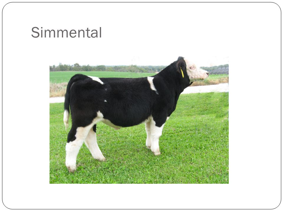 Acceptable Breed Characteristics: Must exhibit physical characteristics of a purebred Simmental Larger, longer head Larger ear, lower set Solid black, red, light red, gray, smut, red and white, yellow and white, black and white Painting or spotting above the underline Stocking legs Bald, blaze or streak face