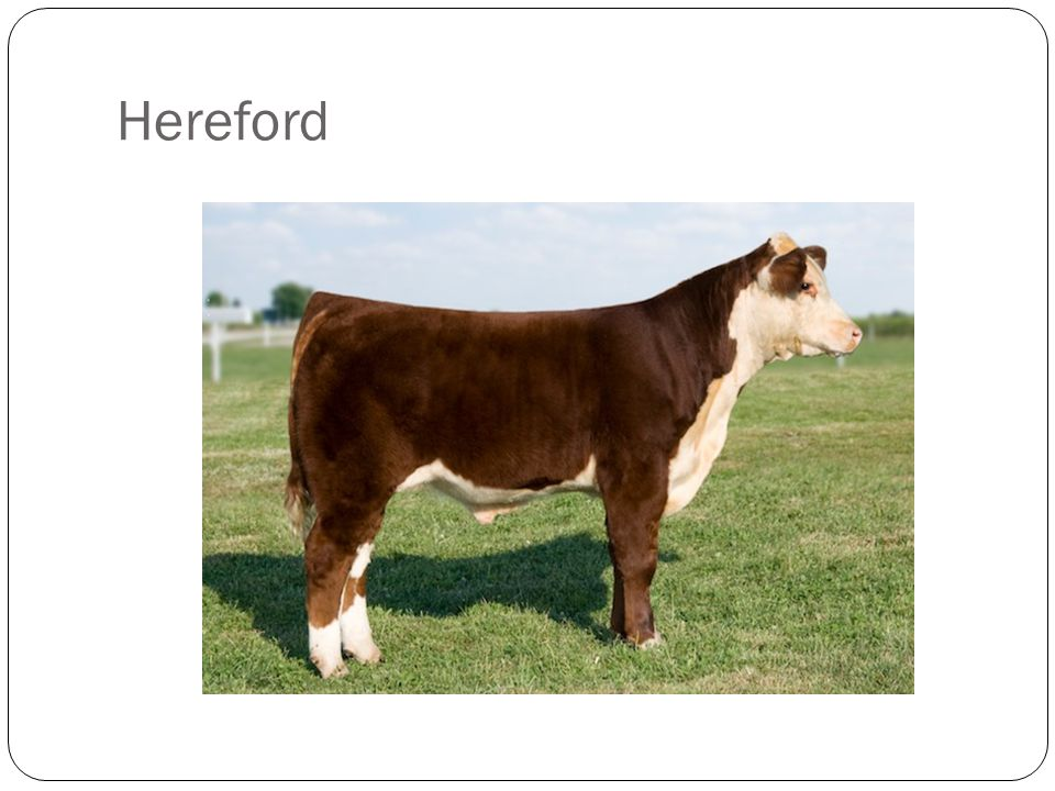 Ideal Breed Characteristics: Must exhibit breed characteristics of a purebred Hereford Red body with white face, white underline, and white marked legs Feather neck Acceptable Breed Characteristics: Dark red color Red neck Solid red or solid white ear; must have some white on the back of both ears; ear size and shape is questionable