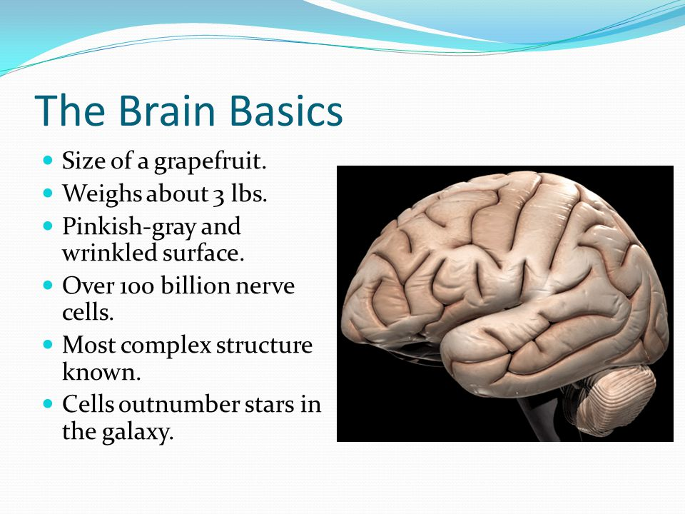The Brain Basics Size of a grapefruit. Weighs about 3 lbs. Pinkish-gray and wrinkled surface. Over 100 billion nerve cells. Most complex structure kno