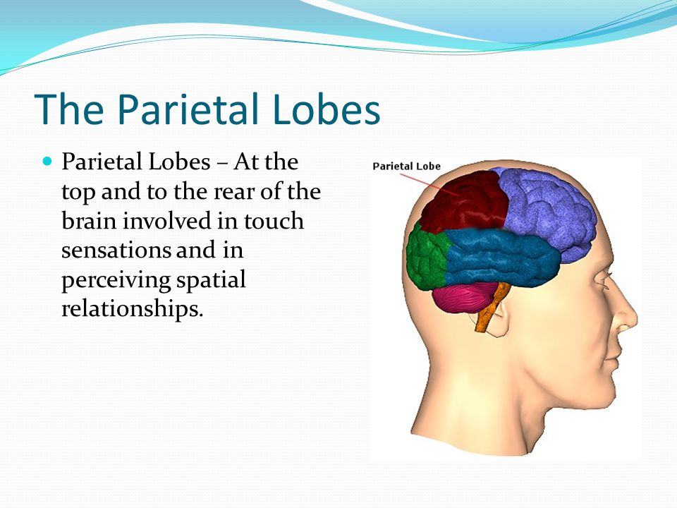 The Parietal Lobes Parietal Lobes – At the top and to the rear of the brain involved in touch sensations and in perceiving spatial relationships.