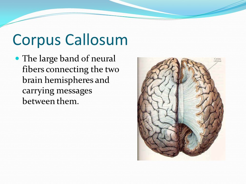 Corpus Callosum The large band of neural fibers connecting the two brain hemispheres and carrying messages between them.