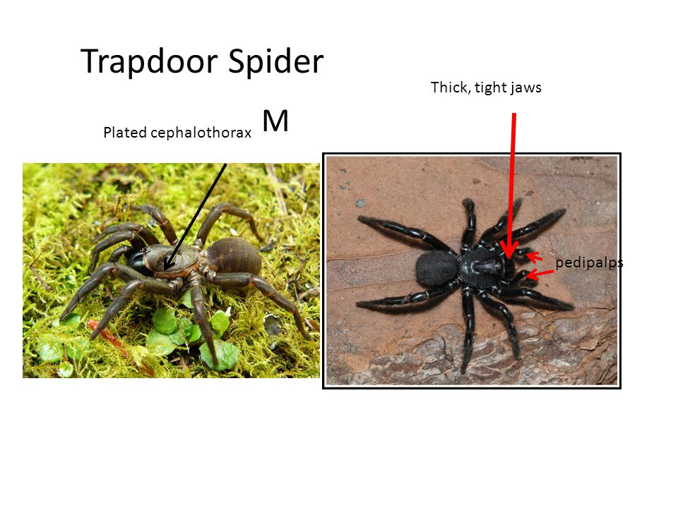 Whip Scorpion -no stinger on tip of tail. -large pincers pedipalps L