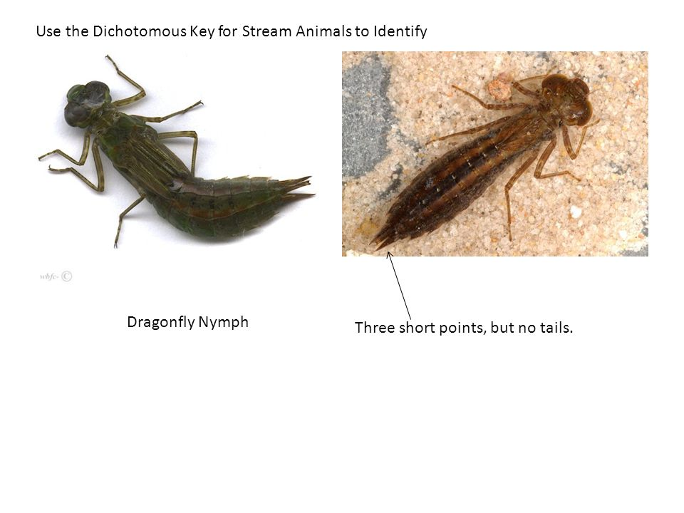Use the Dichotomous Key for Stream Animals to Identify Cranefly Larvae