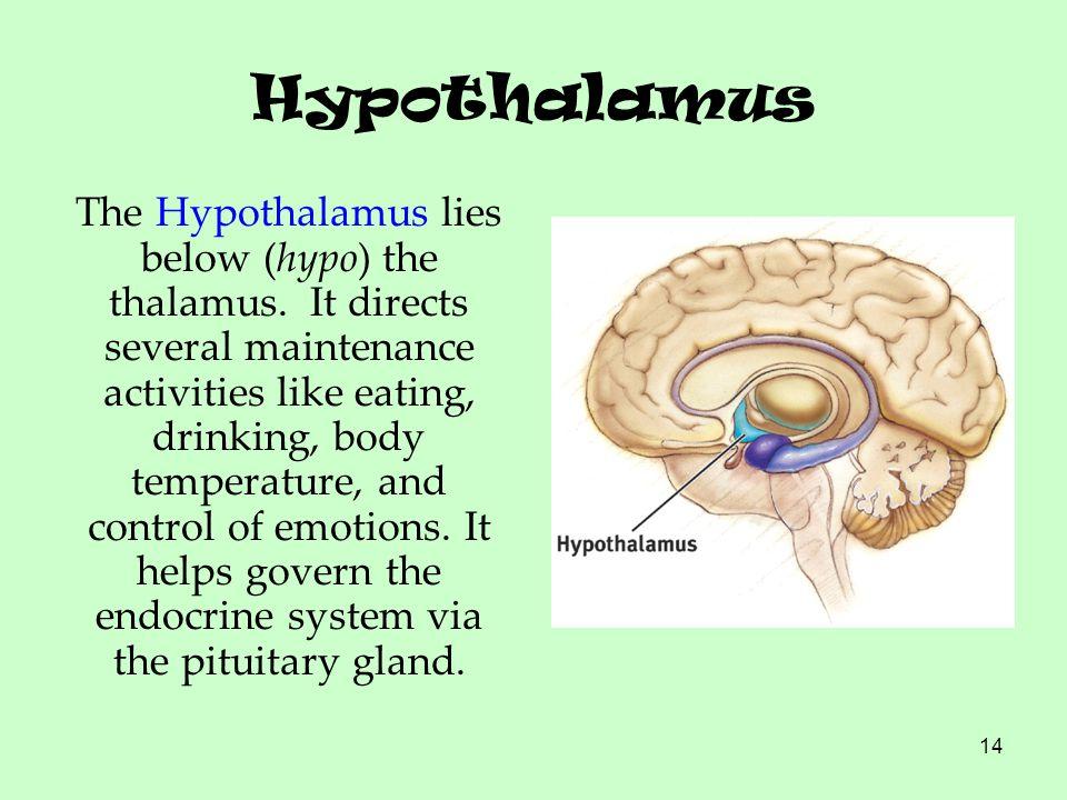 14 Hypothalamus The Hypothalamus lies below (hypo) the thalamus. It directs several maintenance activities like eating, drinking, body temperature, an