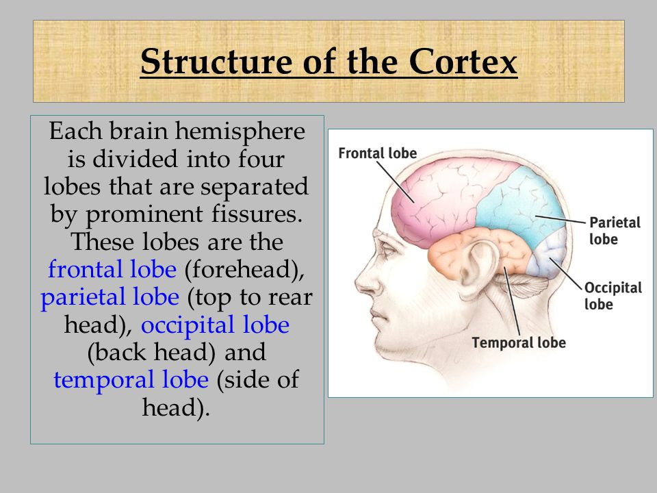 Structure of the Cortex Each brain hemisphere is divided into four lobes that are separated by prominent fissures. These lobes are the frontal lobe (f