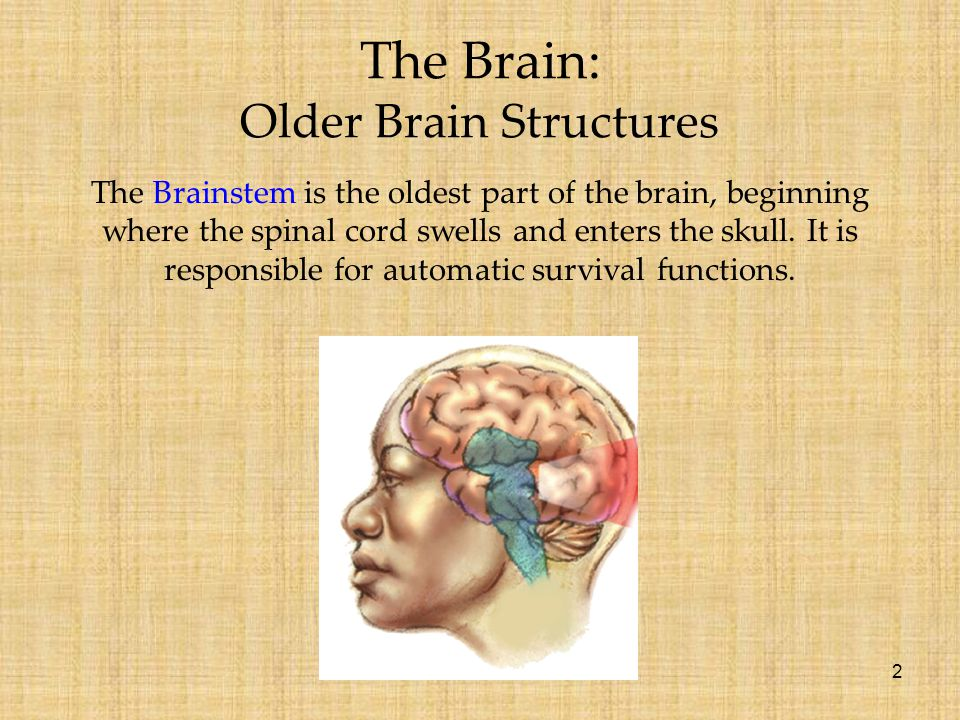 2 The Brain: Older Brain Structures The Brainstem is the oldest part of the brain, beginning where the spinal cord swells and enters the skull. It is