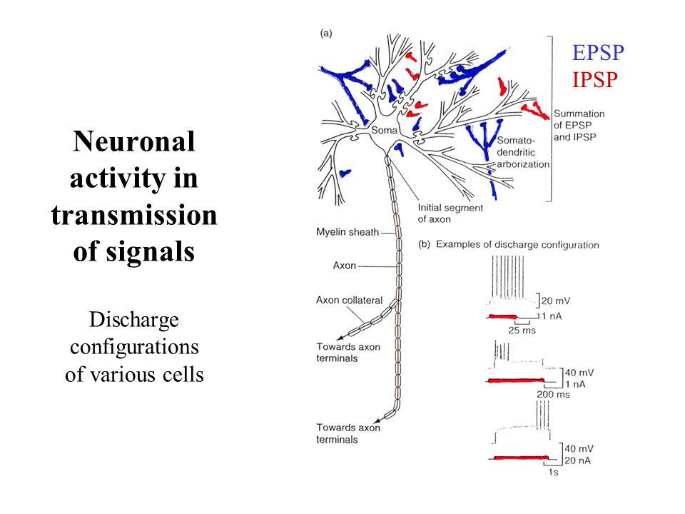 Neuronal activity in transmission of signals Discharge configurations of various cells EPSP IPSP