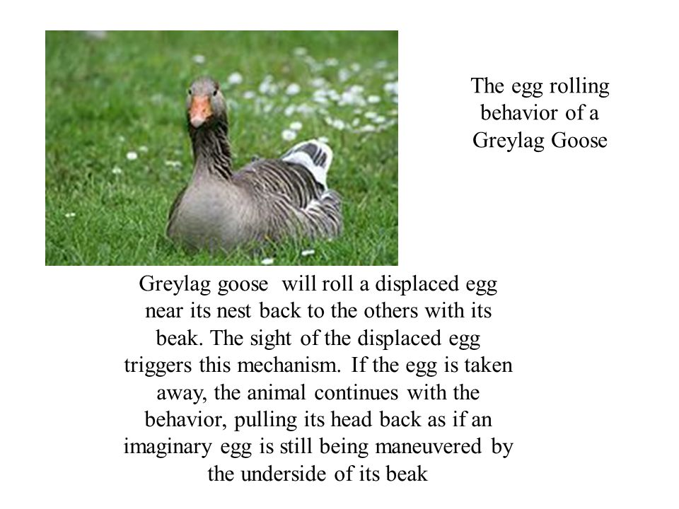 Greylag goose will roll a displaced egg near its nest back to the others with its beak.