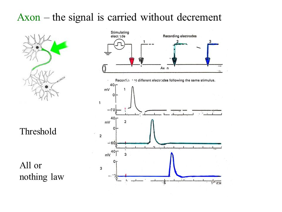 Axon – the signal is carried without decrement Threshold All or nothing law