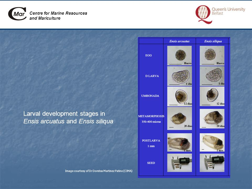 Centre for Marine Resources and Mariculture Larval development stages in Ensis arcuatus and Ensis siliqua Image courtesy of Dr Dorotea Martinez Patino (CIMA)