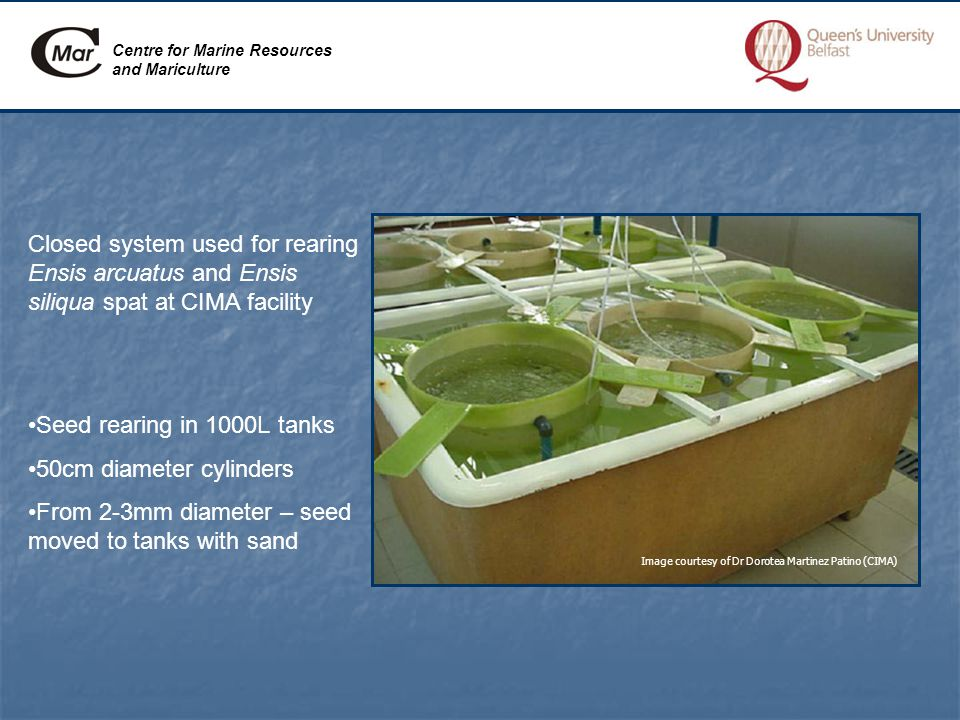 Centre for Marine Resources and Mariculture Closed system used for rearing Ensis arcuatus and Ensis siliqua spat at CIMA facility Image courtesy of Dr Dorotea Martinez Patino (CIMA) Seed rearing in 1000L tanks 50cm diameter cylinders From 2-3mm diameter – seed moved to tanks with sand