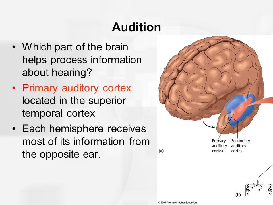 Audition Which part of the brain helps process information about hearing? Primary auditory cortex located in the superior temporal cortex Each hemisph