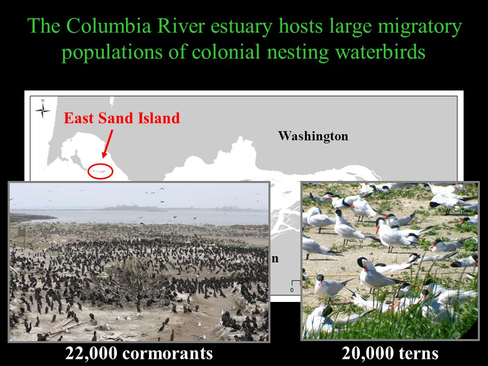 Washington Oregon East Sand Island The Columbia River estuary hosts large migratory populations of colonial nesting waterbirds 20,000 terns22,000 corm