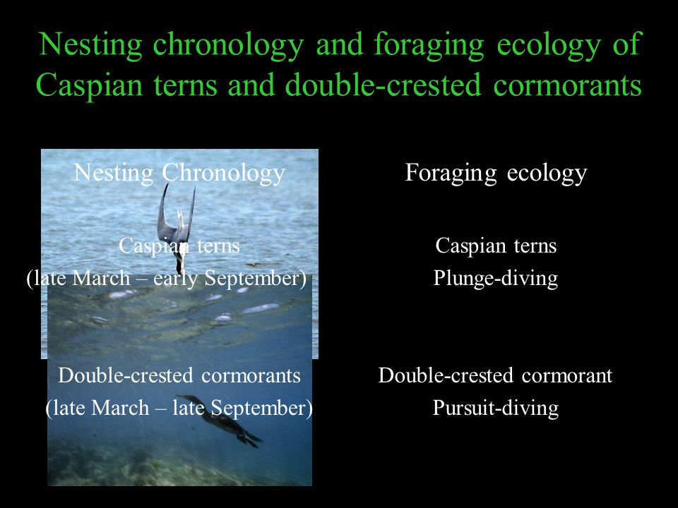 Nesting chronology and foraging ecology of Caspian terns and double-crested cormorants Foraging ecology Caspian terns Plunge-diving Double-crested cor