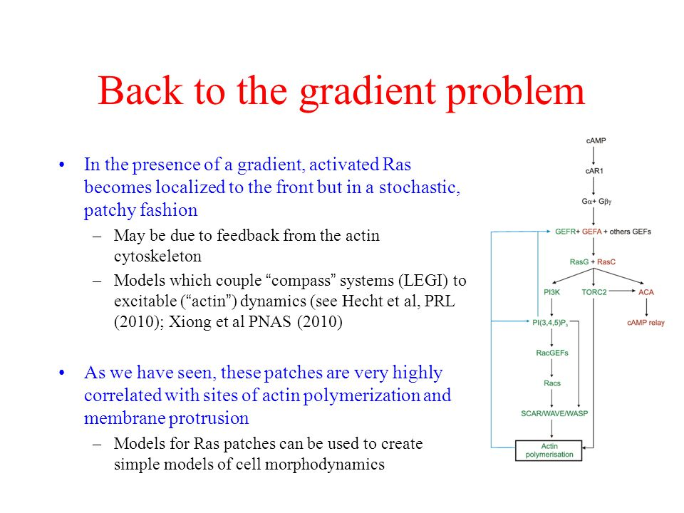 Back to the gradient problem In the presence of a gradient, activated Ras becomes localized to the front but in a stochastic, patchy fashion –May be due to feedback from the actin cytoskeleton –Models which couple compass systems (LEGI) to excitable ( actin ) dynamics (see Hecht et al, PRL (2010); Xiong et al PNAS (2010) As we have seen, these patches are very highly correlated with sites of actin polymerization and membrane protrusion –Models for Ras patches can be used to create simple models of cell morphodynamics