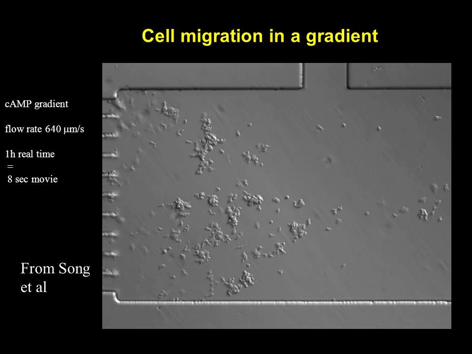 Cell migration in a gradient cAMP gradient flow rate 640  m/s 1h real time = 8 sec movie From Song et al
