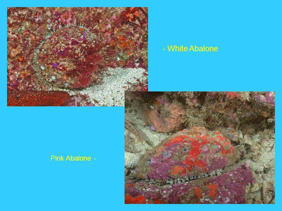 - White Abalone Pink Abalone -