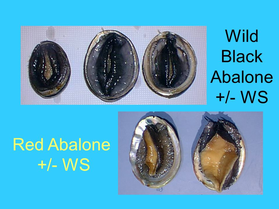 Wild Black Abalone +/- WS Red Abalone +/- WS