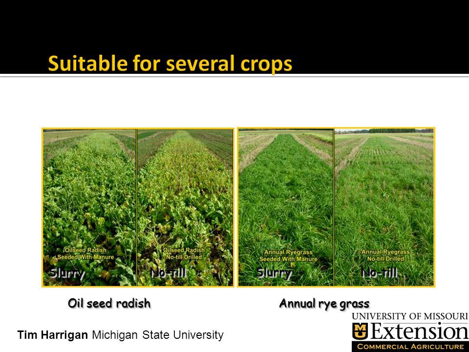 Oil seed radish Annual rye grass SlurrySlurryNo-tillNo-tillSlurrySlurryNo-tillNo-till Tim Harrigan Michigan State University