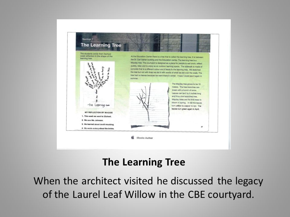 The Learning Tree When the architect visited he discussed the legacy of the Laurel Leaf Willow in the CBE courtyard.