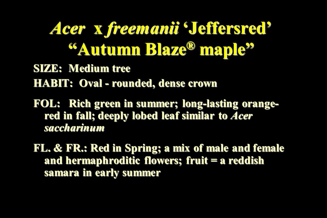 Acer x freemanii 'Jeffersred' Autumn Blaze ® maple SIZE: Medium tree HABIT: Oval - rounded, dense crown FOL: Rich green in summer; long-lasting orange- red in fall; deeply lobed leaf similar to Acer saccharinum FL.