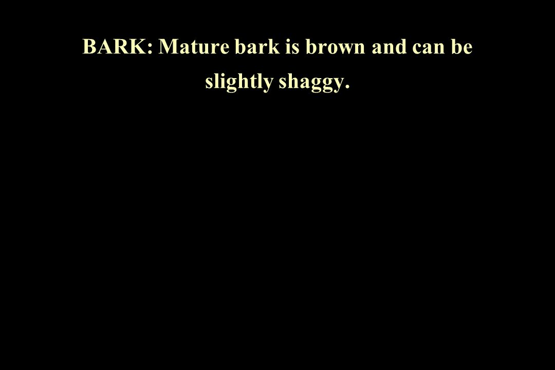 BARK: Mature bark is brown and can be slightly shaggy.