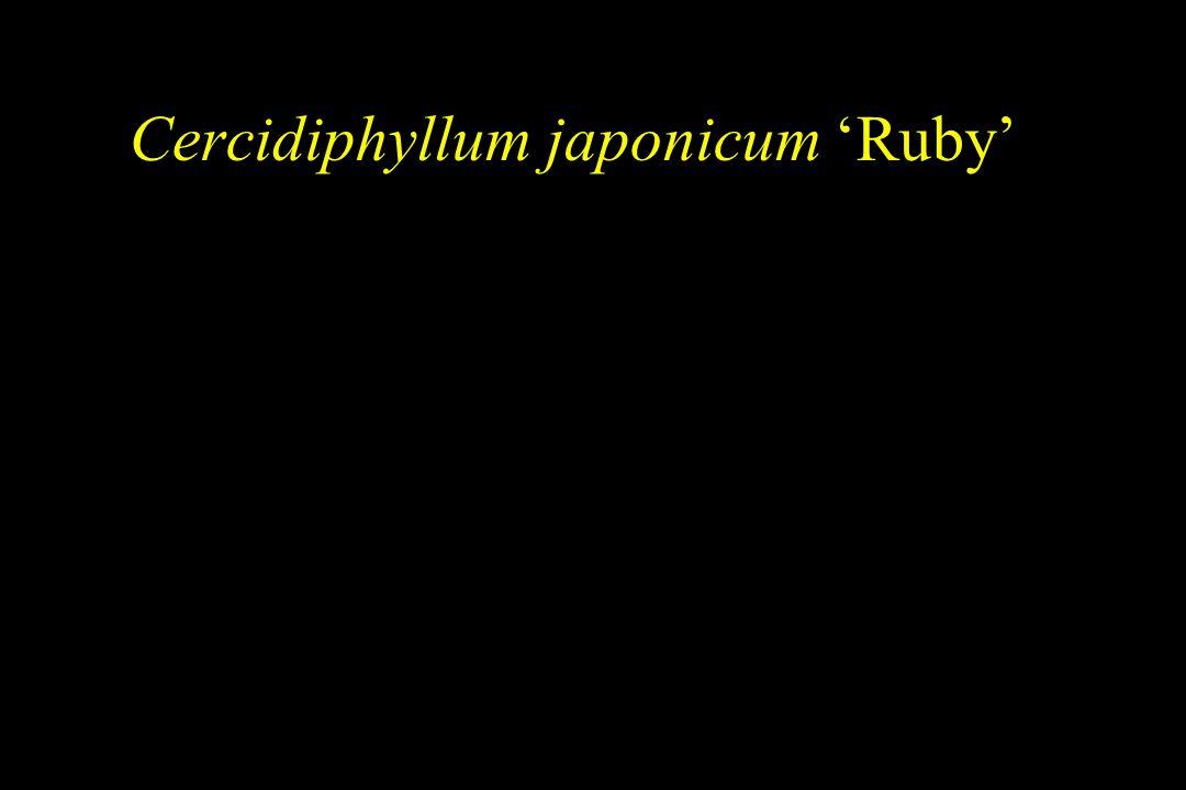 Cercidiphyllum japonicum 'Ruby'