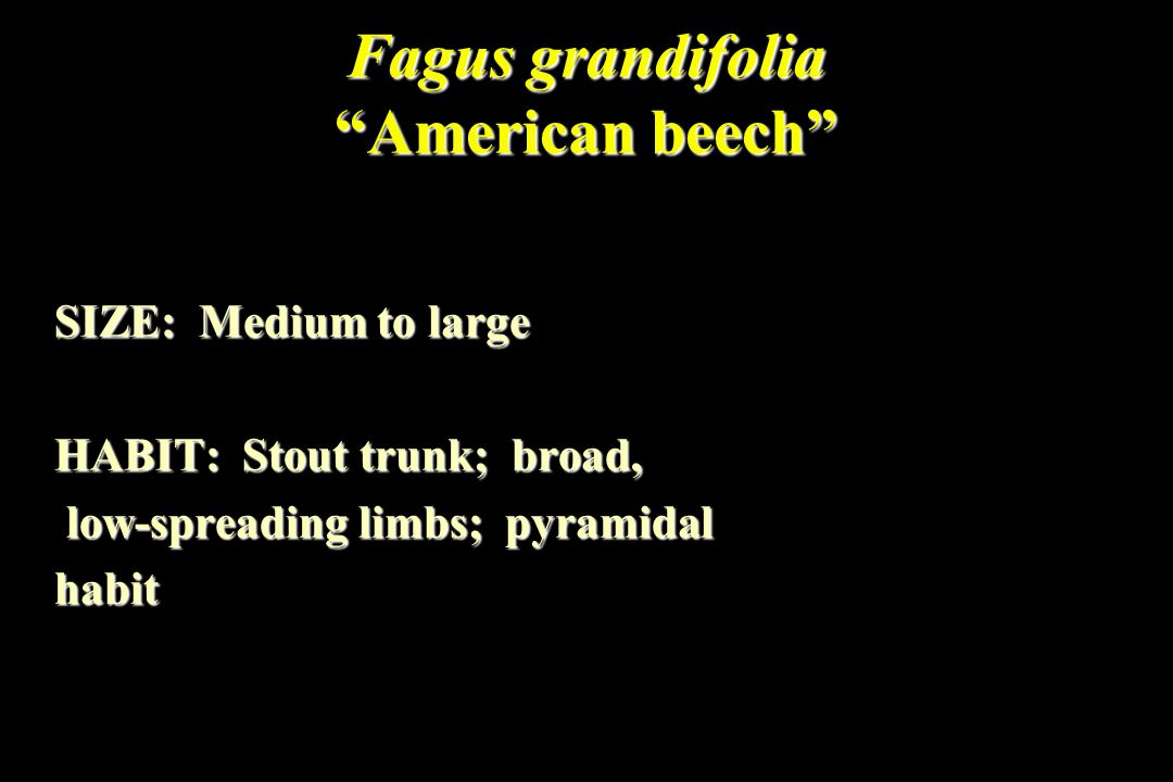 Fagus grandifolia American beech SIZE: Medium to large HABIT: Stout trunk; broad, low-spreading limbs; pyramidal low-spreading limbs; pyramidalhabit