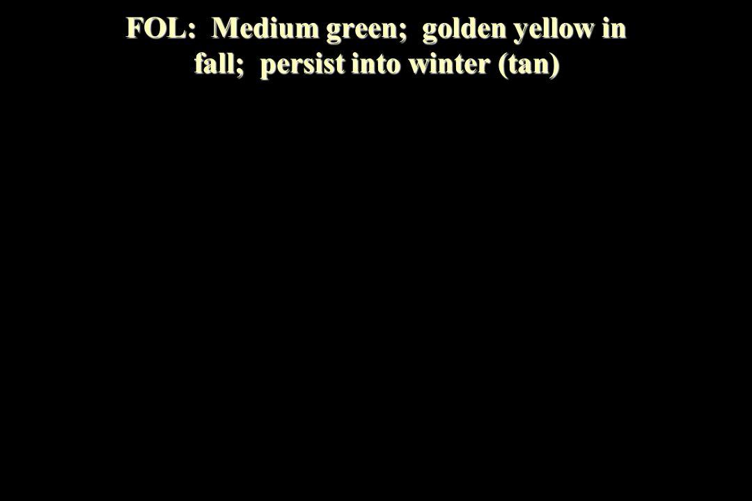 FOL: Medium green; golden yellow in fall; persist into winter (tan)