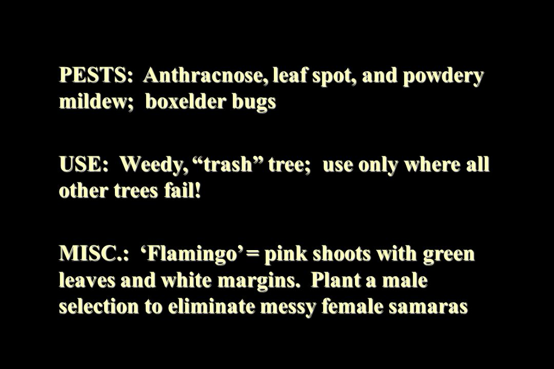 "PESTS: Anthracnose, leaf spot, and powdery mildew; boxelder bugs USE: Weedy, ""trash"" tree; use only where all other trees fail! MISC.: 'Flamingo' = pi"