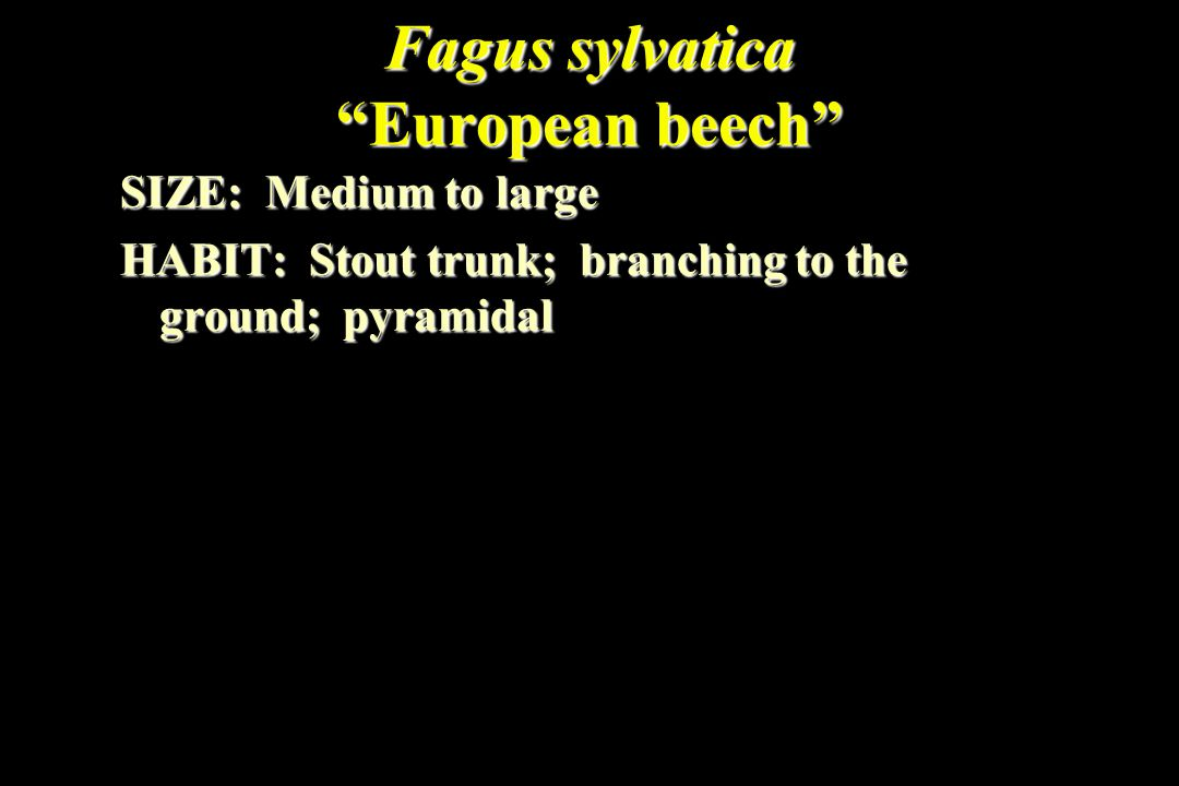 "Fagus sylvatica ""European beech"" SIZE: Medium to large HABIT: Stout trunk; branching to the ground; pyramidal"