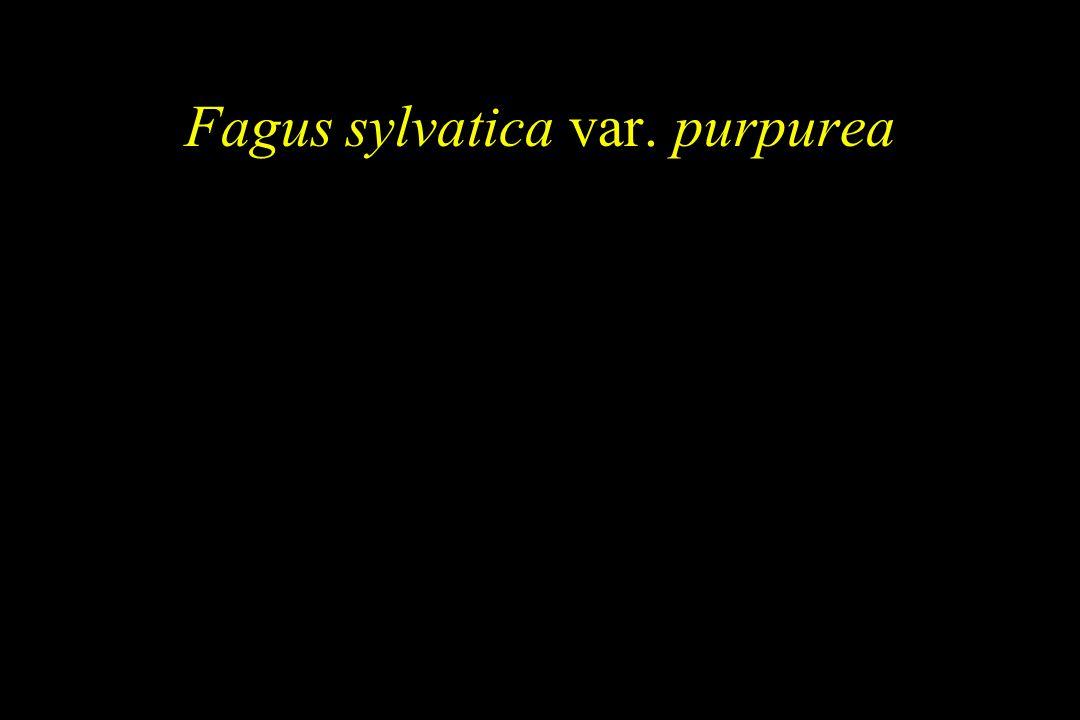 Fagus sylvatica var. purpurea