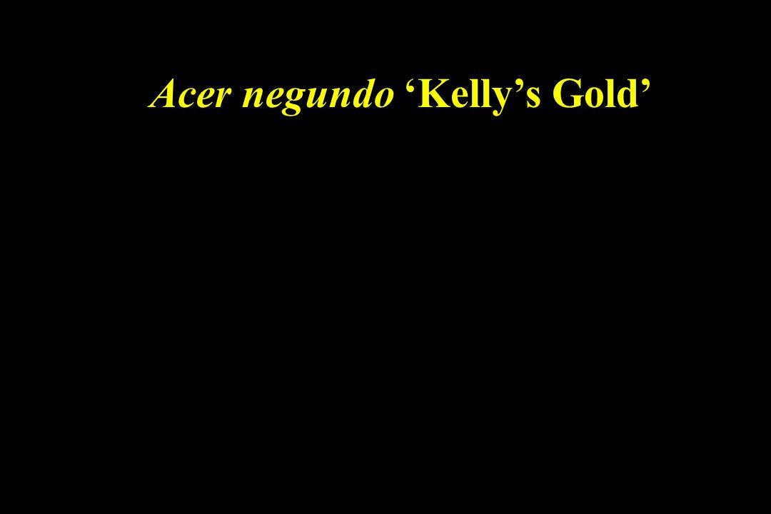 Acer negundo 'Kelly's Gold'