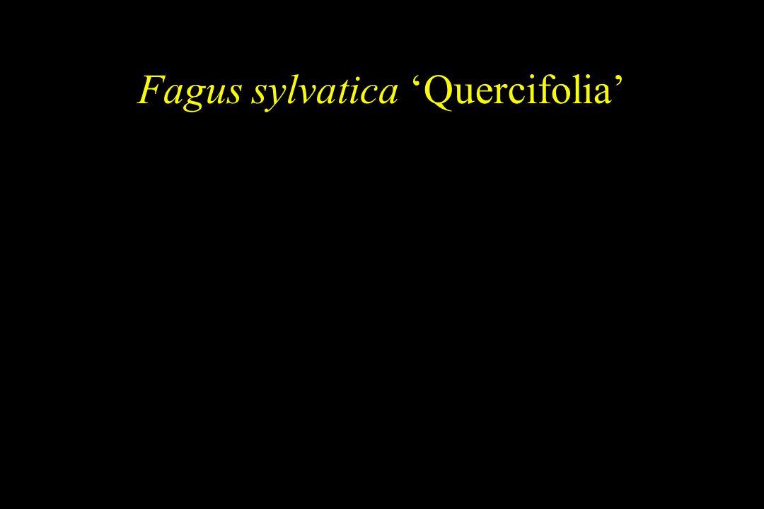 Fagus sylvatica 'Quercifolia'