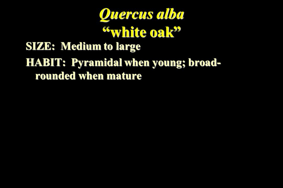 Quercus alba white oak SIZE: Medium to large HABIT: Pyramidal when young; broad- rounded when mature