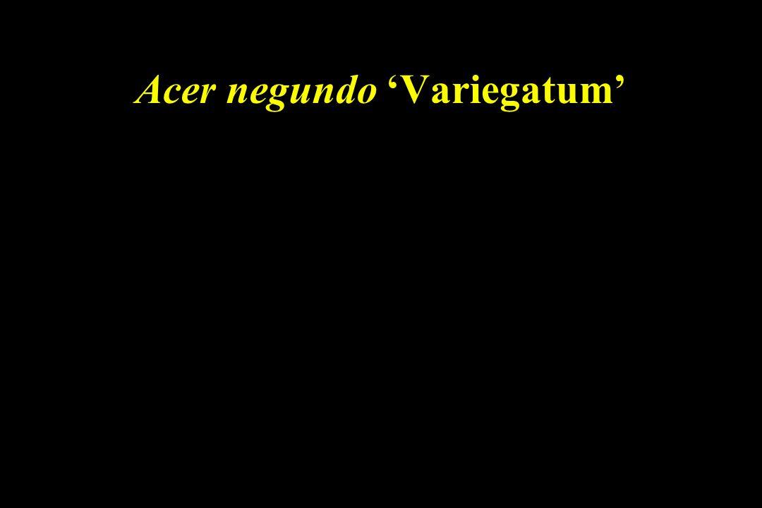 Acer negundo 'Variegatum'