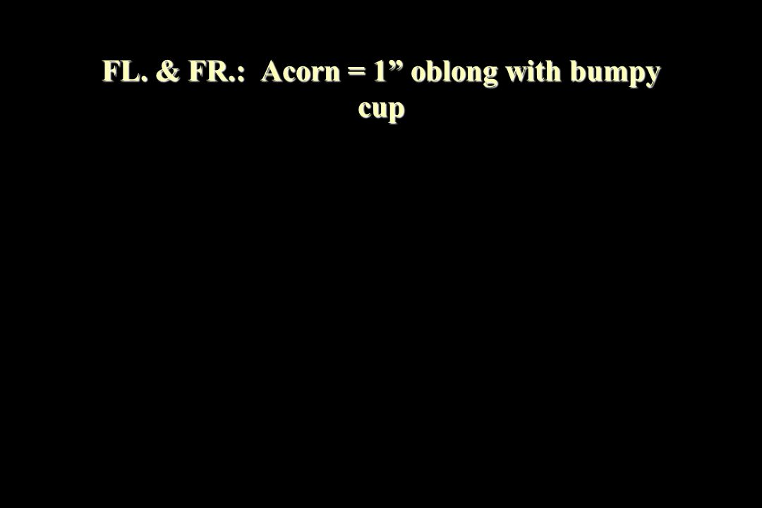 FL. & FR.: Acorn = 1 oblong with bumpy cup