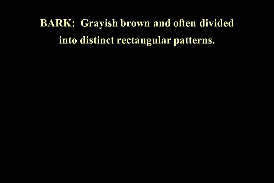 BARK: Grayish brown and often divided into distinct rectangular patterns.