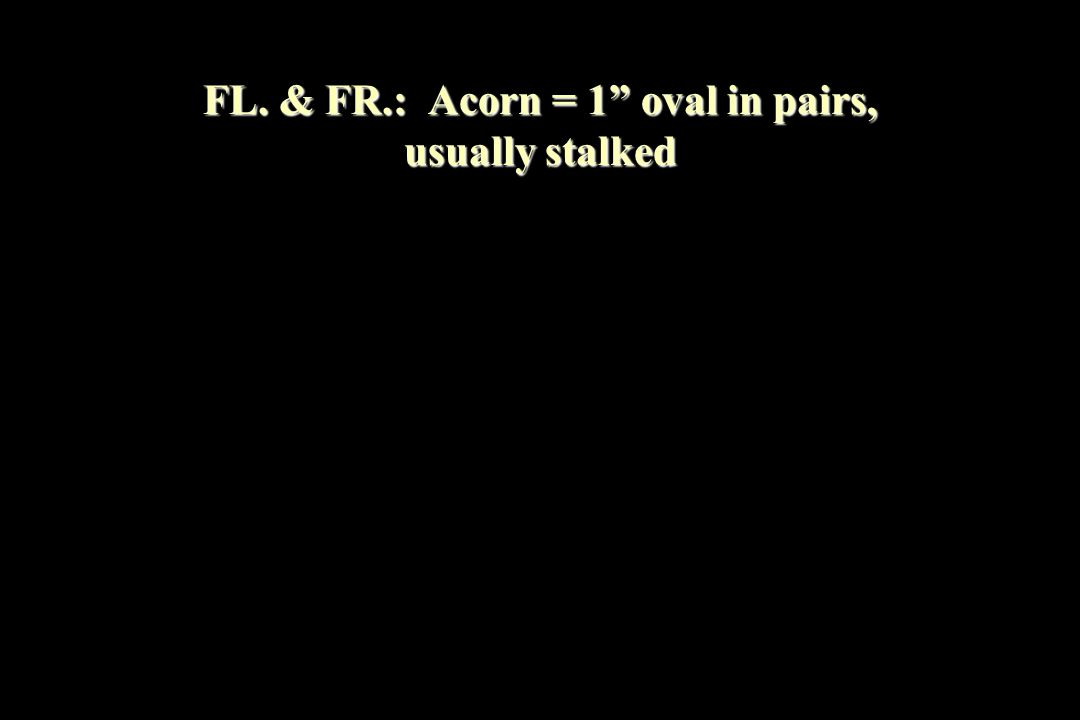 "FL. & FR.: Acorn = 1"" oval in pairs, usually stalked"
