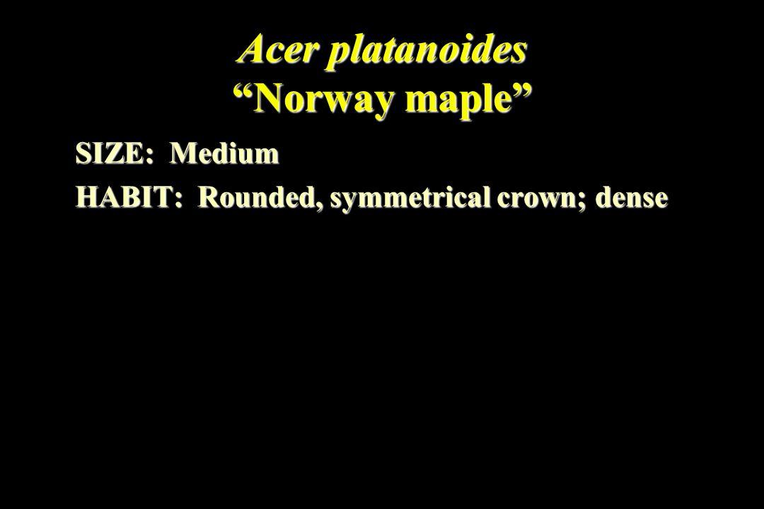 Acer platanoides Norway maple SIZE: Medium HABIT: Rounded, symmetrical crown; dense