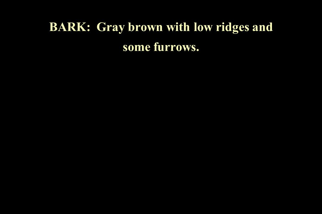 BARK: Gray brown with low ridges and some furrows.