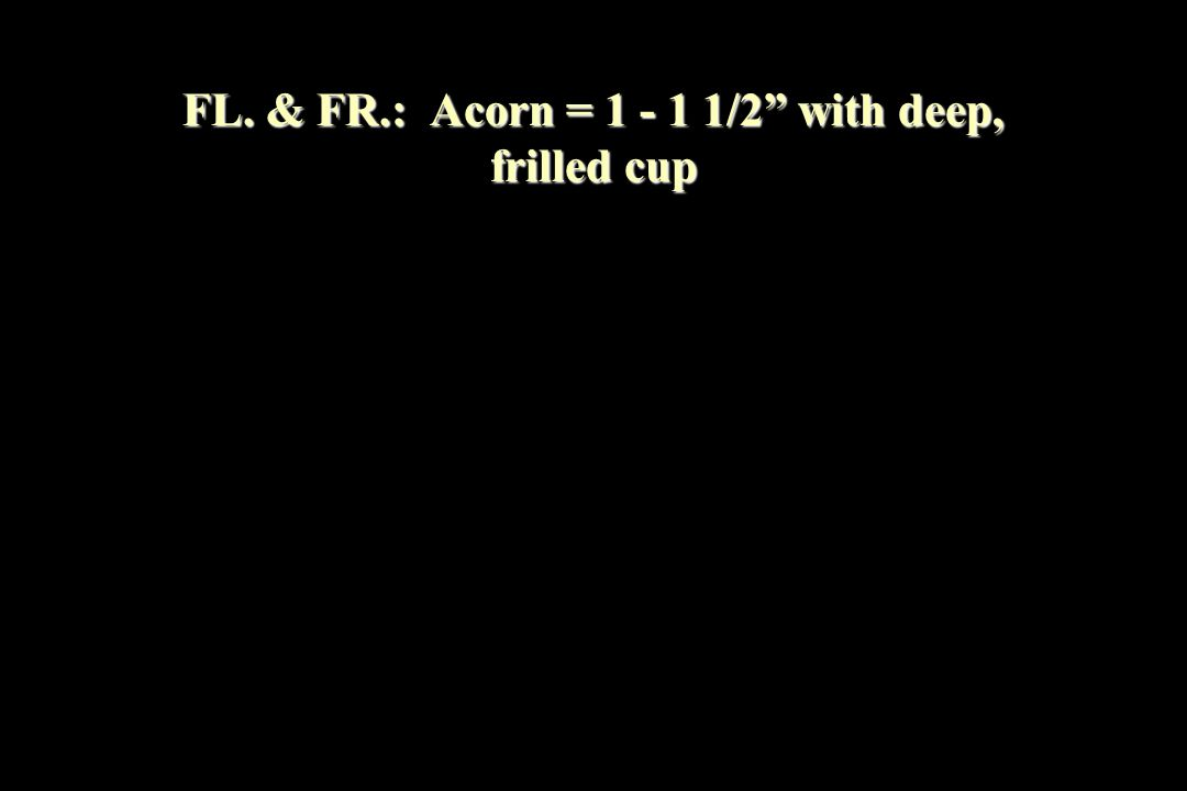 FL. & FR.: Acorn = 1 - 1 1/2 with deep, frilled cup