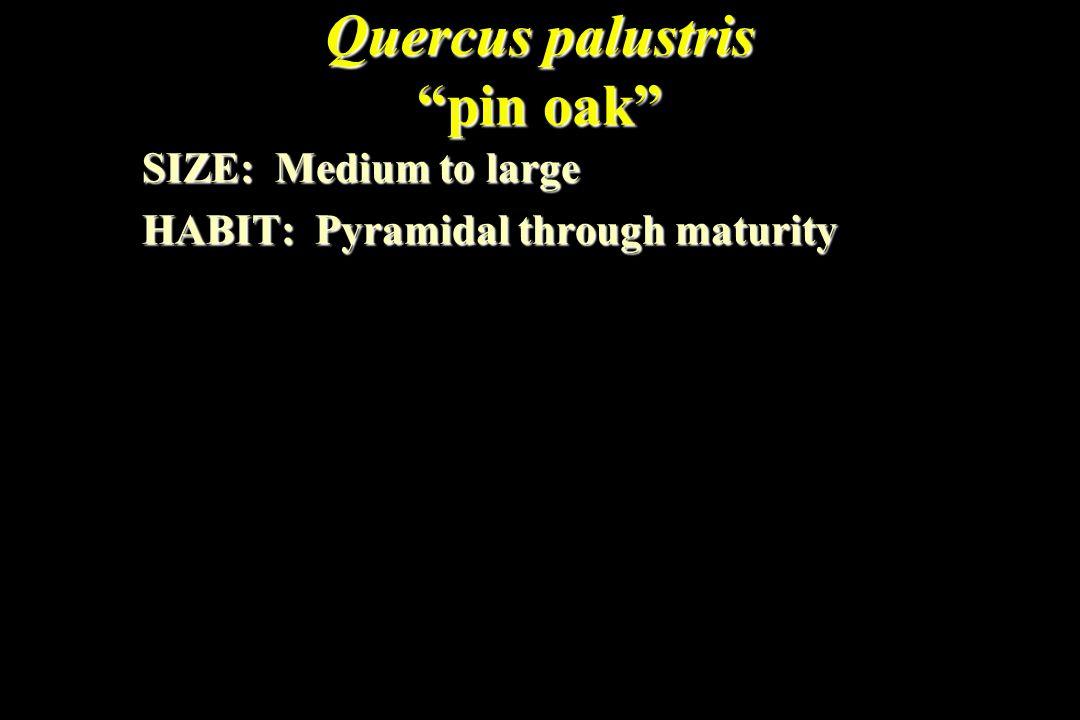 Quercus palustris pin oak SIZE: Medium to large HABIT: Pyramidal through maturity