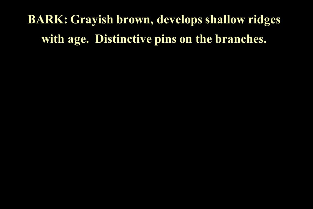 BARK: Grayish brown, develops shallow ridges with age. Distinctive pins on the branches.