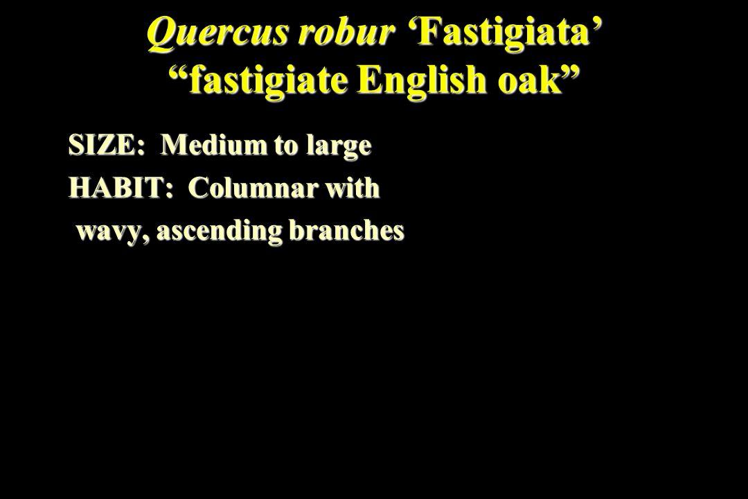 Quercus robur 'Fastigiata' fastigiate English oak SIZE: Medium to large HABIT: Columnar with wavy, ascending branches wavy, ascending branches
