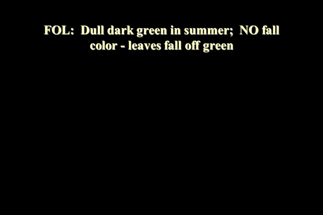 FOL: Dull dark green in summer; NO fall color - leaves fall off green