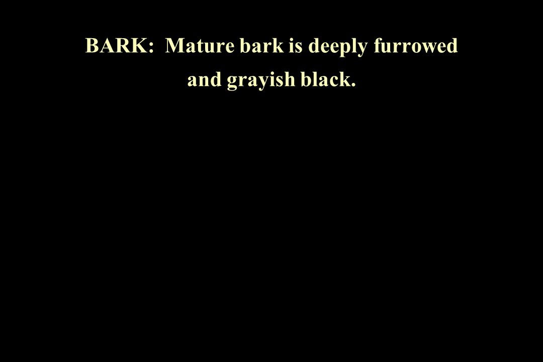 BARK: Mature bark is deeply furrowed and grayish black.