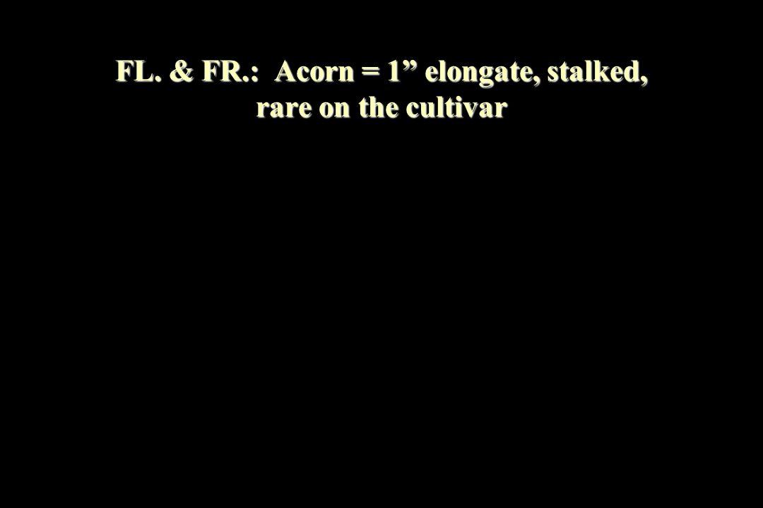 FL. & FR.: Acorn = 1 elongate, stalked, rare on the cultivar