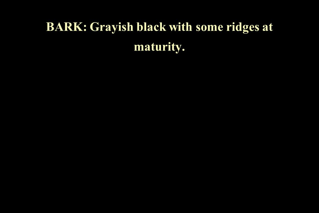 BARK: Grayish black with some ridges at maturity.